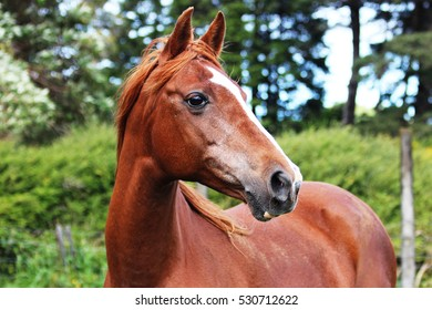 Chestnut Horse, White Stripe