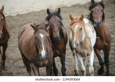 chestnut horses pack herd farm animals portrait brown equine mustang colt mares group of horses rural stallion dirt pasture gallop domestic