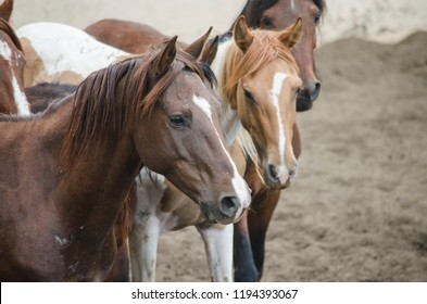 chestnut horses pack herd farm animals portrait brown equine mustang colt mares group of horses rural stallion dirt