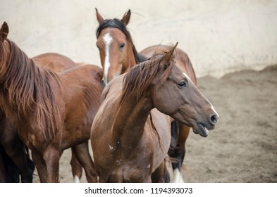 chestnut horses pack herd farm animals portrait brown equine mustang colt mares group of horses rural stallion dirt pasture gallop domestic pose closeup