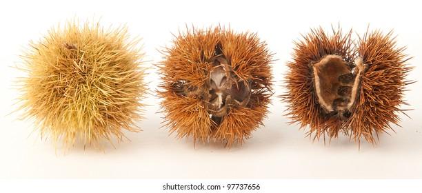 Chestnut husk empty