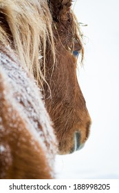 Chestnut Icelandic Mare in Winter Snow