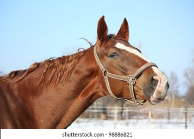 Chestnut latvian horse looking alert