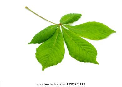 Chestnut leaf isolated on white background