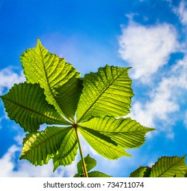 chestnut leaves against a blue sky