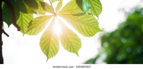 chestnut leaves on the background of sun