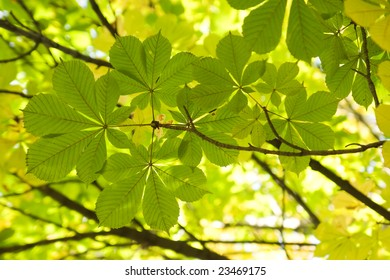 chestnut leaves in sun rays