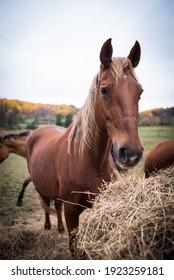 Chestnut Mare American Saddlebred Horse