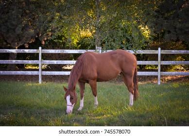A chestnut mare grazes on green summer grass.
