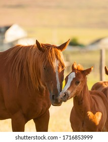 chestnut mare mother horse nuzzling with chestnut foal baby horse touching noses as if kissing with heart shape light on foals shoulder