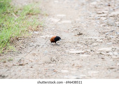 Chestnut munia, formerly considered as a subspecies of the tricoloured munia, is also known as black-headed munia.It is a small passerine bird.