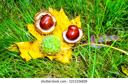 Chestnut on autumn maple leaf in grass. Autumn chestnut top view. Autumn chestnut maple leaf. Autumn chestnut decoration scene