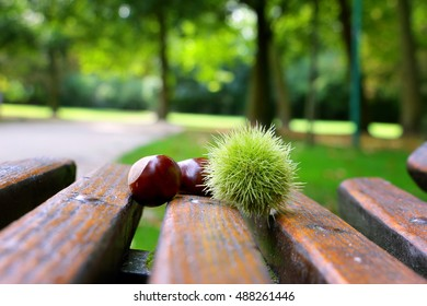Chestnut in park laying on the the wooden bench. Concept of end of summer and early fall.
