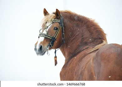 Chestnut Russian draft horse looking backwards in a bridle standing in a snow. Animal portrait.
