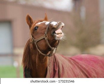A chestnut stallion lifts its top lip as if laughing.