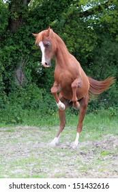 Chestnut stallion playing