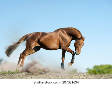 chestnut stallion runs