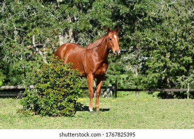 Chestnut thoroughbred horse standing in the green paddock.