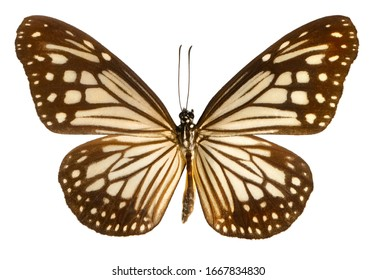 Chestnut Tiger, Parantica, butterfly isolated on white background.