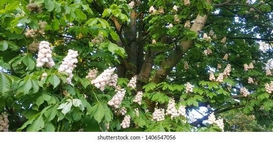 chestnut tree blooming in spring