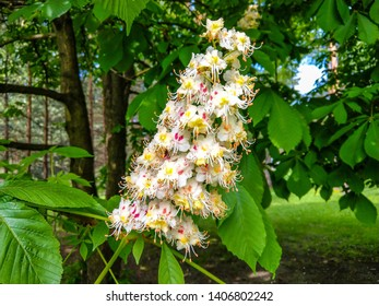Chestnut tree blossom in spring. Spring blooming chestnut blossom. Spring chestnut tree blossom view