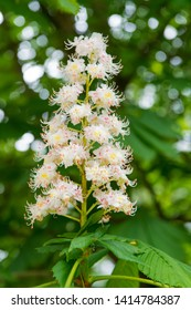 Chestnut tree blossom in spring. Spring blooming chestnut. Chestnut tree blossom. Nature park. Petals and pollen. Pollen allergy. Pollination and reproduction concept. Chestnut flower.