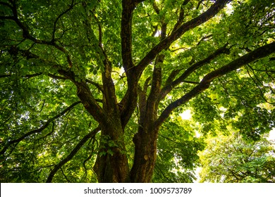 Chestnut Tree canopy in beautiful sunlight in the village of Widdicombe-in-the-moor, on Dartmoor in Devon, England - also known as Widecombe.