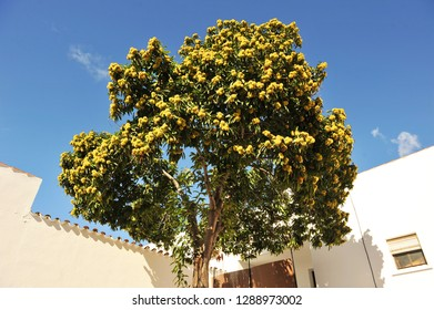 a chestnut tree (Castanea sativa) loaded with chestnuts in an andalusian house
