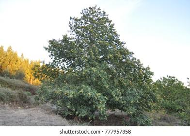 chestnut tree, nut tree, hazelnut tree, tree