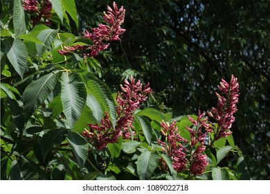 Pink chestnut tree blossom images stock photos vectors shutterstock chestnut tree with pink flowers mightylinksfo