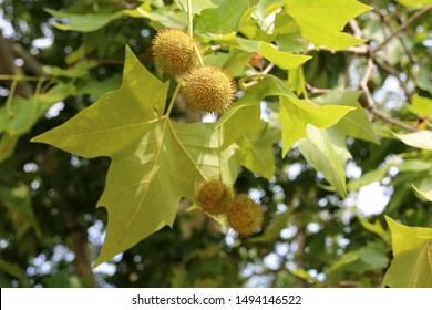 Chestnut tree with spiky green chestnuts photographed in Zürich, Switzerland during a sunny summer day. Spiky green ball-shaped fruits and green leaves hanging from chestnut tree branches. Color image