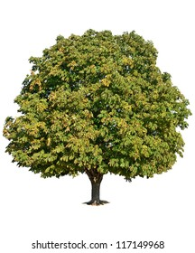 A chestnut tree standing alone over white background