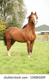 Chestnut welsh pony stallion standing on pasturage in autumn