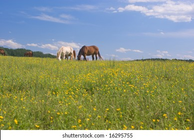 Chestnut and White Horses Grazing in a Field of Buttercups Under a Partly Cloudy Blue Sky