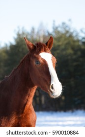 Chestnut yearling in the sunlight.