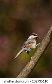 Chestnut-backed Chickadee (Poecile rufescens).