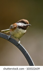 Chestnut-backed Chickadee (Poecile rufescens) at a bird feeder.