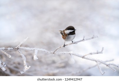 Chestnut-backed chickadee sitting on a frost covered branch in winter in Southeast Alaska.