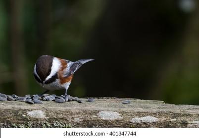 Chestnut-backed Chickadee,Brown colour Chickadee