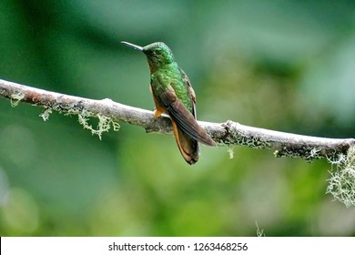 Chestnut-breasted coronet (Boissonneaua matthewsii) hummingbird near Baeza, Ecuador