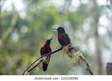 Chestnut-breasted coronet (Boissonneaua matthewsii) hummingbirds perched on a vine near Baeza, Ecuador