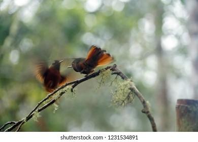 Chestnut-breasted coronet (Boissonneaua matthewsii) hummingbirds fighting near Baeza, Ecuador