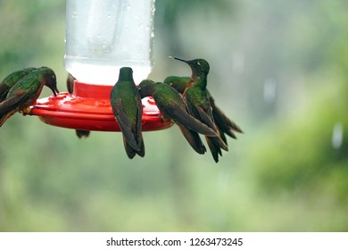 Chestnut-breasted coronet (Boissonneaua matthewsii) hummingbirds perched on a feeder near Baeza, Ecuador