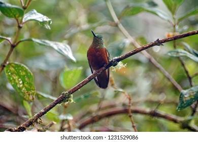 Chestnut-breasted coronet (Boissonneaua matthewsii) perched on a vine near Baeza, Ecuador