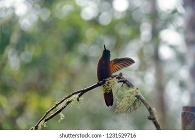 Chestnut-breasted coronet (Boissonneaua matthewsii) with its wings extended near Baeza, Ecuador