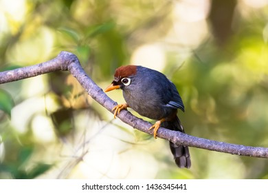 Chestnut-capped Laughingthrush bird, known as the spectacled laughingthrush with white eye ring, gray plumage and orange brown cap found at Fraser's hill, Malaysia, Asia (Garrulax mitratus)