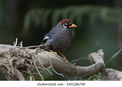 Chestnut-capped laughingthrush (Garrulax mitratus) in the jungles of Fraser's Hill in Pahang, Malaysia.