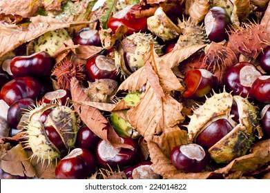 chestnut/chestnut