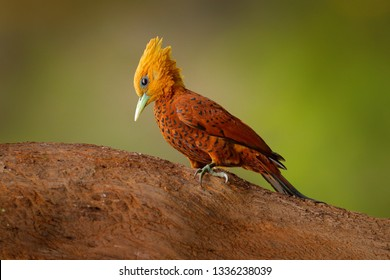 Chestnut-coloured Woodpecker, Celeus castaneus, brawn bird with red face from Costa Rica. Woodpecker with yellow crest and red face, sitting on the tree. Wildlife scene from tropic forest nature.