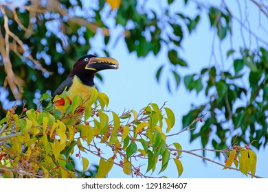 Chestnut-eared Aracari, Pteroglossus Castanotis, a tropical bird of the toucan and aracari family, Ramphastidae, Mato Grosso, Pantanal, Brazil, South America